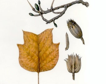 Botanical Illustration of Tulip Tree in Colored Pencil