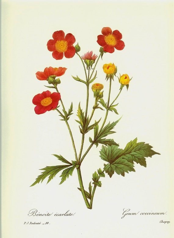 Vintage Book Plate by Redoute of Coccineum