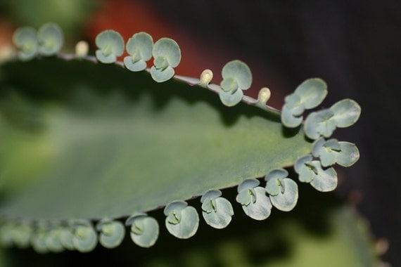 10 plantlets Kalanchoe diagremontiana -  Mother of Thousands Succulent