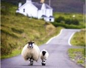 Custom Order - Sheep Walking in the Highlands, Scotland - Quality 12 x 12 Print