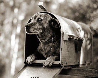 Dog photography, Old Dog, Dachshund, First Class, Mailbox, USPS, Cute, Post Office, Priority