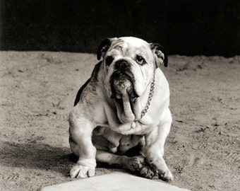 Dog photograph, Bulldog, Old Dog, Catcher, Home Plate, Baseball, Spring Training, Major League