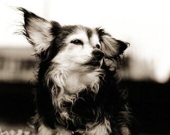 Dog Photography, Senior Dog, Papillon, Wind, Breeze, Toy Breed, Poignant