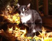 Tux in Autumn . . . Original Tuxedo Cat Feline Photography by Richard Bruness at Chat Noir Studio