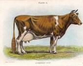 1890s vintage farm print GUERNSEY COW antique art chromolithograph