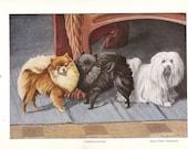 1919 vintage dog print POMERANIAN & MALTESE TERRIER antique art lithograph