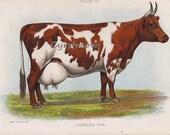 vintage animal chromolithogrpah AYRSHIRE COW - farm print from the 1890s