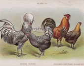 vintage chicken chromolithograph - SILVER POLISH and HAMBURGS - farm art print from the early 1900s
