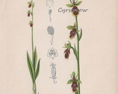 vintage botanical print FLY ORCHID - antique flower art from 1880