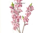 vintage floral print - PINK MEZEREUM - Victorian flower art from the 1890s