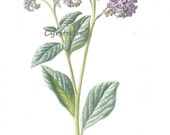 vintage botanical print HELIOTROPE flower art from the 1890s