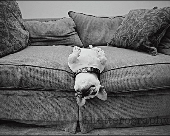 Comfortably Stuck French Bulldog 8x10 print matted to 11x14