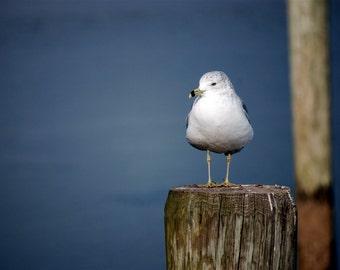 Seagull 8x10