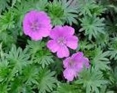 Hardy Geranium - John Elsley 3 large divisions Carmine Pink Flowers - Long Bloom Season