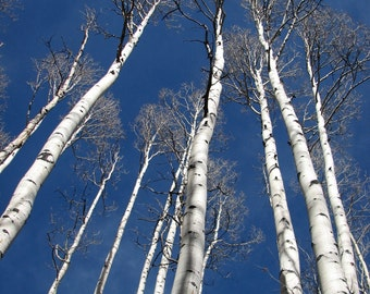 """Aspen Trees against a Bright Blue Sky in Colorado (8"""" x 10"""" photograph)"""