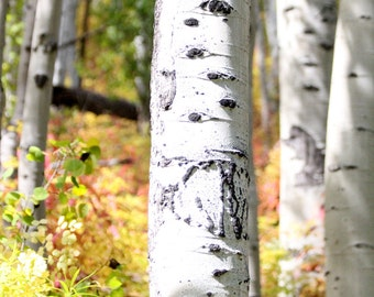 """Black and White Aspens in Gold and Red Leaves Near Aspen Colorado (8"""" x 10"""" photograph)"""