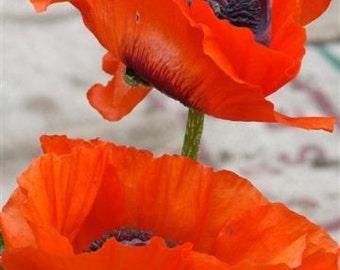 Poppies 4x6 Fine Art Print