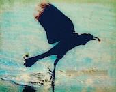 Swooping Black Bird-  5 x 7 Fine Art Photograph/ Illustration