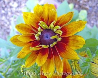 Colorful Woodstock  Flower