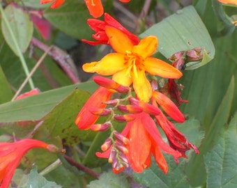 50 CROCOSMIA crocosmiiflora Bulbs Orange vibrant summer blooms hardy in most conditions no fuss easy to care for