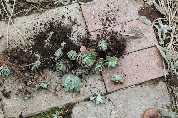 10 Hens and Chicks Succulents bare root grean teal foliage HARDY Beautiful SALE