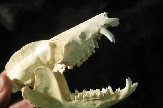 SALE Opossum Skull Teeth Real Bone by DesertRoseTaxidermy