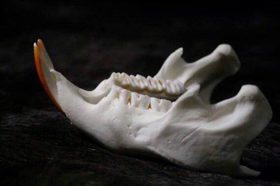 SALE - Porcupine Jaws - Teeth - Real Bone, Rodent, Taxidermy, B92 - Grade A