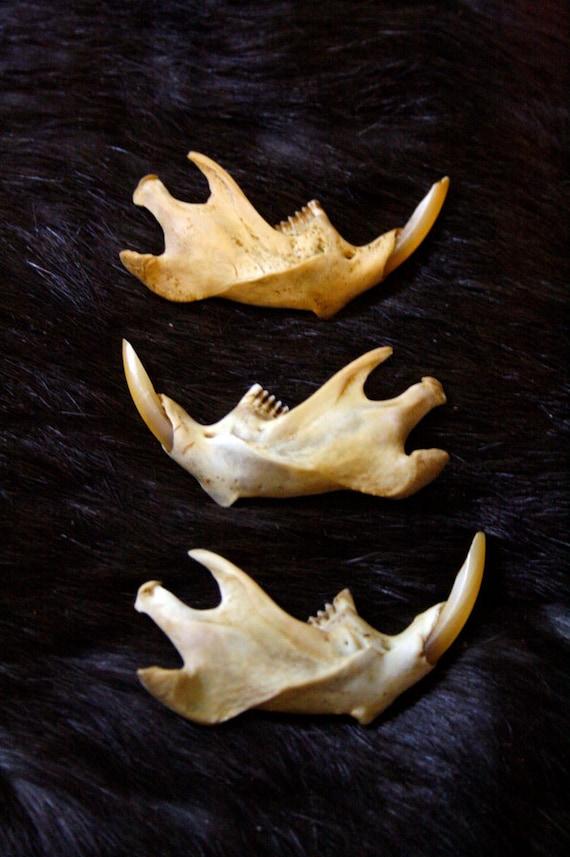 x1 Muskrat Jaw Bone - Teeth - Real Bone, Rodent, Taxidermy - Grade A
