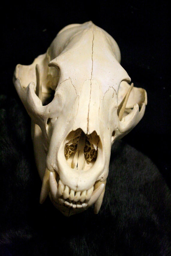 Black Cat Bone Etsy