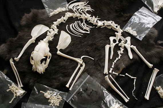 SALE - x1 Juvenile Cat Skeleton - Real Bone, Build-A-Critter, Taxidermy, SKJ5690 - Grade A