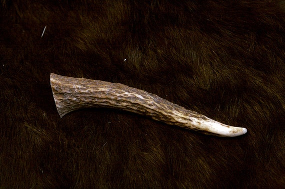 Elk Tine - Grade A, Real Bone, Antler, Taxidermy, A55612