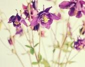 Early summer flowers - Purple Columbines - 5x5 Fine Art Photo