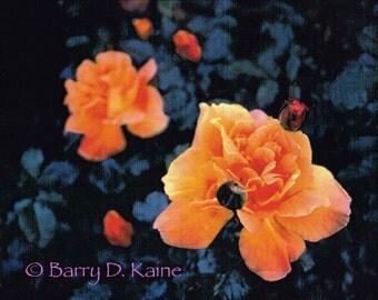 Portland Roses photo print