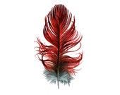 Red Amazon Parrot / Macaw feather - Nightly Study 375- Original watercolor