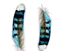 Two Blue Jay Feathers Card - Blank Card - Greeting Card