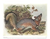 1951 Audubon and the Quadruped Animal Book Plate -  Double Sided -  Gray Fox, Kit Fox
