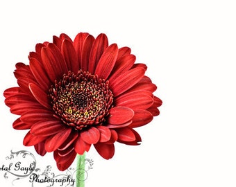 Gerbera Daisy Photo Fine Art Photography gerber Daisy Print large red wall art