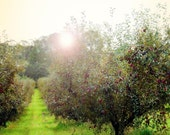 Tree Photography, Nature Photograph, Apple Orchard - Under the Apple tree