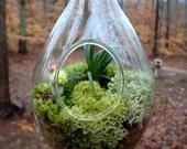 Hanging TeardropTerrarium, Glass, Mondo Grass, Mushroom, Lichen and Moss Terrarium. Great for HOME or OFFICE. Unusual Gift.  Terrariums by m