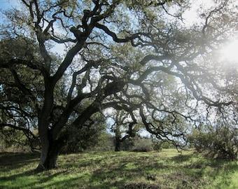 Oak Tree Wall Art,  Landscape Photography, Nature Art, Fine Art Photography - She Embraced the Sun - Original signed 8 x 10 color tree photo