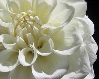 White photo of Dahlia flower- Original signed  8x10 black and white photograph