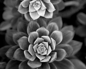 black and white fine art photography - In My Garden -  8x10 photograph of succulent plant