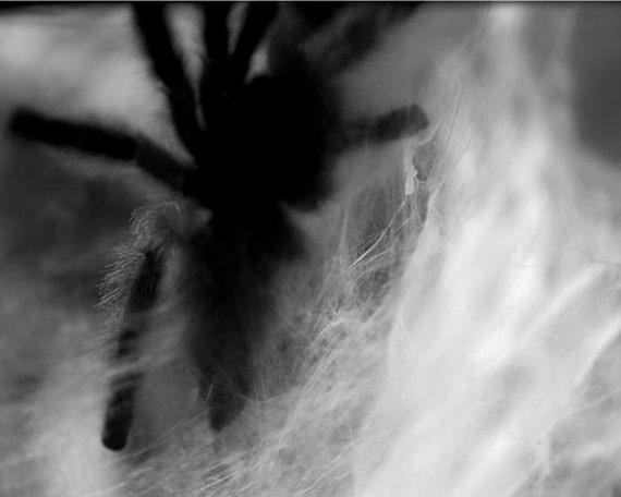 Tarantula Spider Web Photograph  Art  - An Original Signed 8 x 10 Black and White Photography