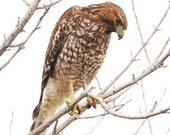 Red shouldered Hawk  Print, Hawk Photograph, Red shouldered art, Fine art Nature photograph, nature photograph
