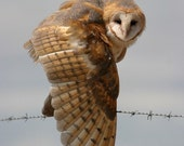 8x12 barn owl on barbed wire (unmatted)