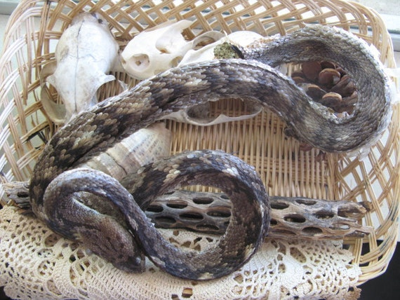 Cruelty Free Mummified Rattlesnake Rattler Snake Serpent Reptile Herp Real Bumblebee Taxidermy Religious Educational Magic Spell