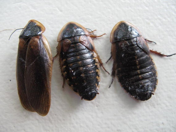 Cruelty Free - Specimen - Cockroaches - Wet Preservation Curio Educational Collection Taxidermy Religious Spirit
