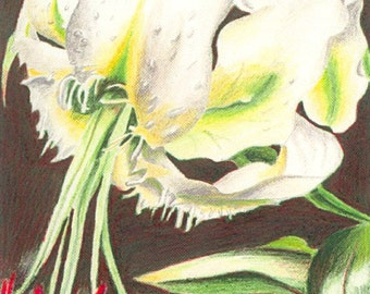 White Stargazer Lily (Reproduction)
