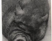 Impressive Vintage Black and White Photographic Postcard of a Vietnamese Pot Bellied Pig Sleeping