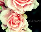 Roses After the Rain- 8x12 Fine Art Photograph